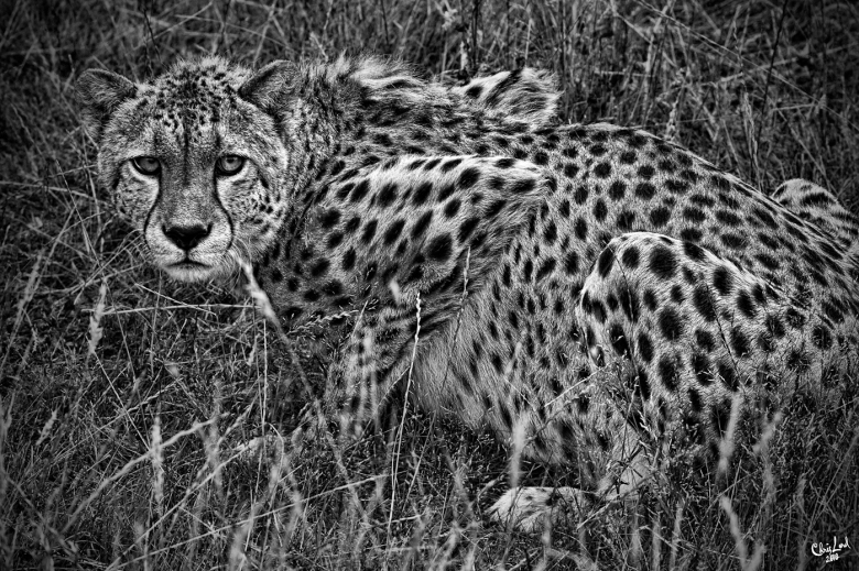 Cheetah In The Long Grass