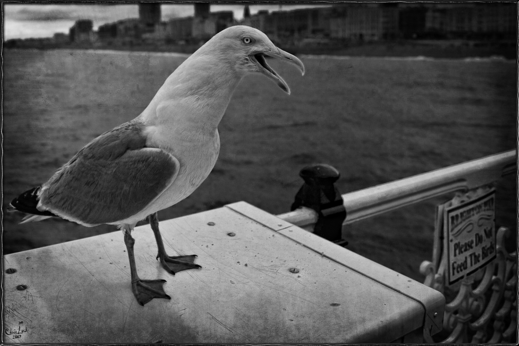 Hungry Gull