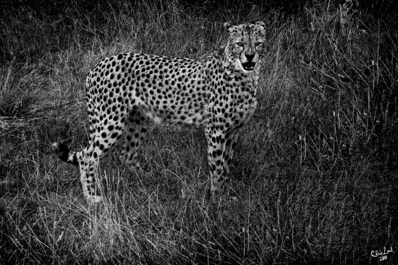 Cheetah In The Light